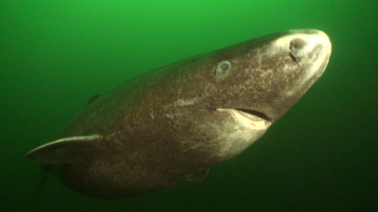Greenland Sharks (HD) | JONATHAN BIRD\'S BLUE WORLD - YouTube