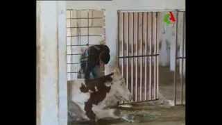 Algerie,contrebande de l'aliment de bétail.