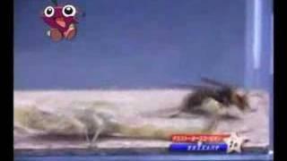 Luta de insetos #01 - Vespa Africana vs Escorpião
