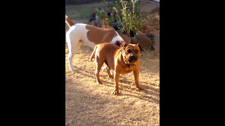 CRAZY CUTE DOG ! Girl dog tries to mount boy dog crazy weird stupid mad animals