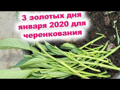 Три золотых дня января 2020 года для черенкования комнатных растений и для укоренения черенков