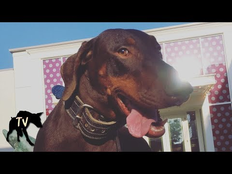 Funny Doberman Compilation