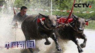 [中国新闻] 泥地狂奔 泰国举行水牛赛跑 | CCTV中文国际