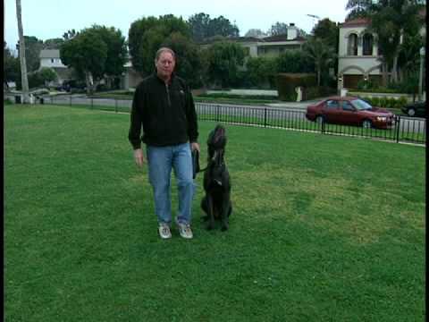 Cane Corso - Dog Training Intro Using a Gentle Leader Headcollar