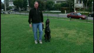 Cane Corso - Dog Training Intro Using A Gentle Leader Headcollar