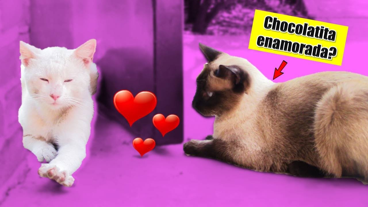 "Mi Gata Enamorada?😻 Como está Pandita? | ""La Cuarentenasion"" DivertiCatVlog"