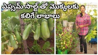 ఎప్సమ్ సాల్ట్ తో మొక్కలకు కలిగే లాభాలు    Miracle Fertilizer for plants    Best uses of Epsom salt
