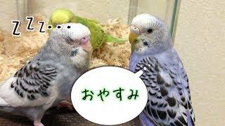 黄緑系のインコ H29/3/17頃産まれ 飼った日5/27 (きいちゃん) 青系のイ...