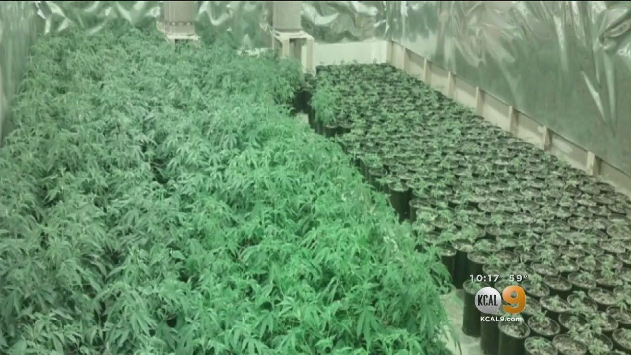 major-marijuana-bust-in-el-monte