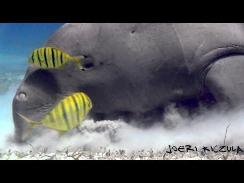 --Best of The Red sea-- (HD)   Dolphins,Hammerheads,Dugong,Tresher shark,Longimanus