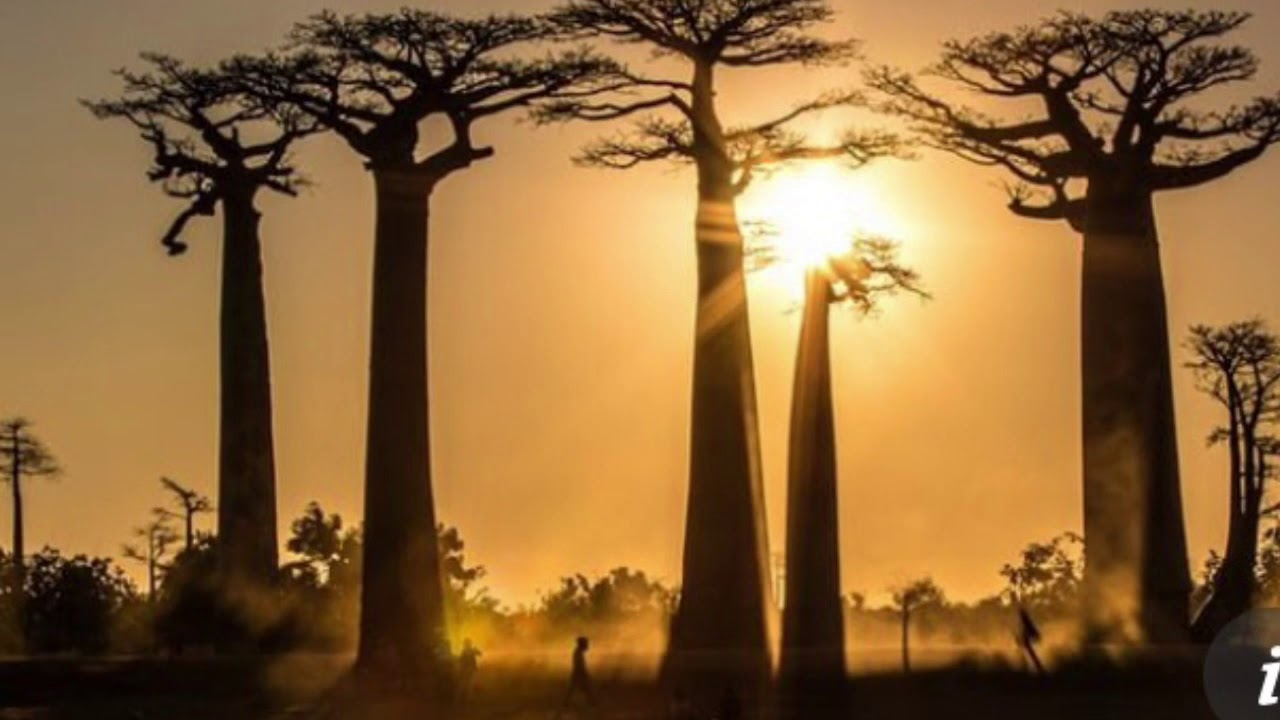 African Tree of Life Dying Out Because of Climate change