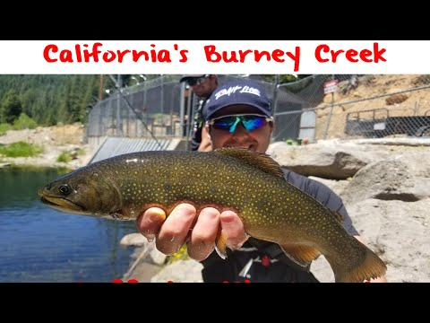Trout Fishing California's Burney Creek