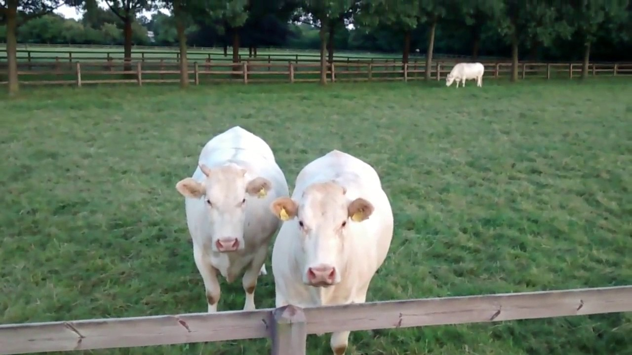 Download Funny Video   Cow 2017