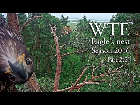 Life in white-tailed eagles' nest in Estonia. Part 2, 2016