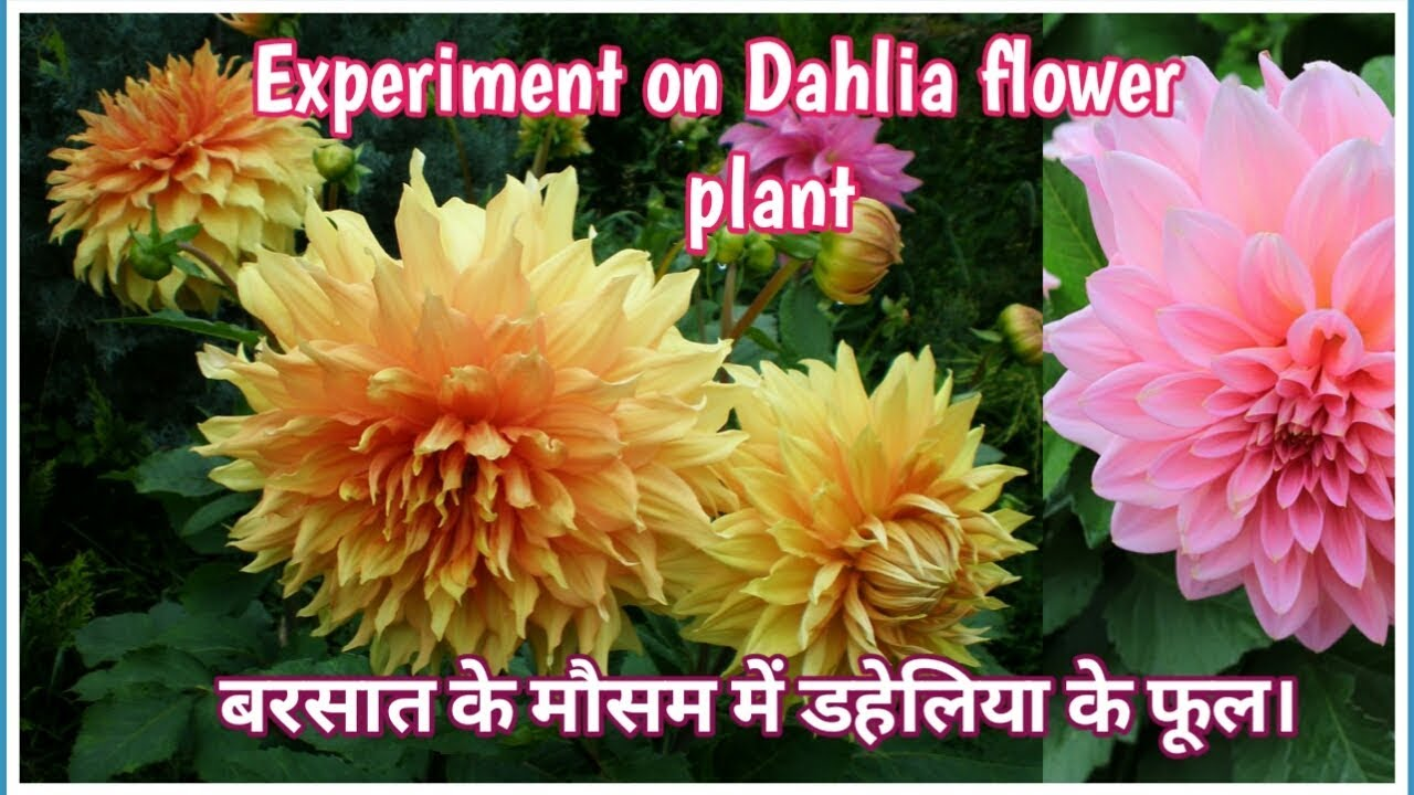 Dahlia Flower How To Grow Dahlia Flower Plant Hindi Youtube