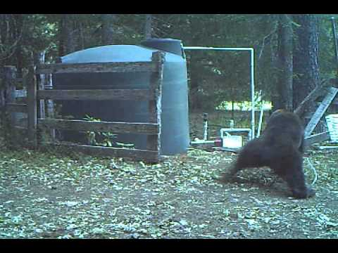Bear Tries to Walk it Off After Getting Hit in Nuts