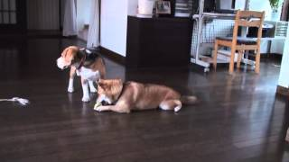 女の子の柴犬と男の子のビーグルです。 いつもこんなふうに、仲良く遊ん...