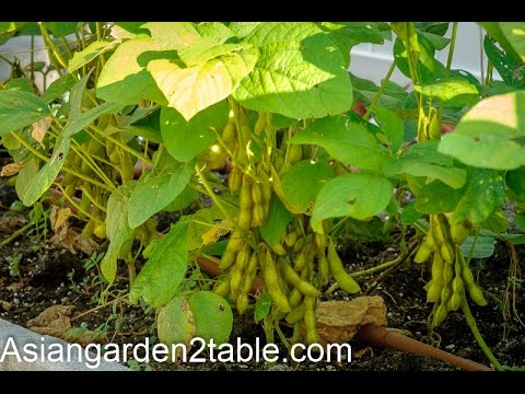 How to grow green soybean in back yard garden (毛豆/黄豆)