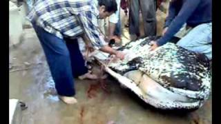 Cow Qurbani in shareef abad.mp4