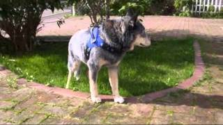 My 17-year-old Australian cattle dog walking around in my yard 1994...