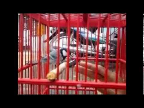 Perawatan Burung Gelatik Wingko Biar Gacor