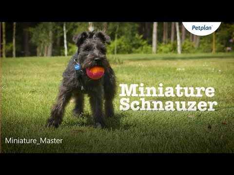 Miniature Schnauzer Dog: Temperament, Lifespan & More | Petplan