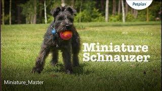 Miniature Schnauzer Dog: Temperament, Lifespan & More | Petplan
