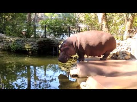 hippo farts poops and splatters diarrhea youtube