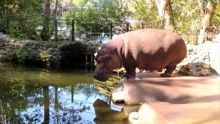 HIPPO FARTS, POOPS AND SPLATTERS DIARRHEA