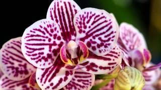 Орхидеи завораживающие взгляд!