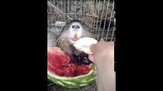 Нутрия кушает арбуз.  Супер прикол!