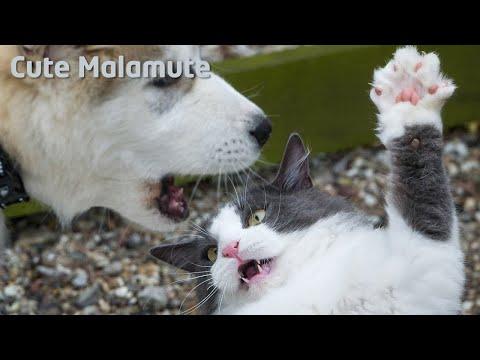 Alaskan Malamute battling with killer cat