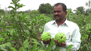 Rukmini Guava Plantation Part 1