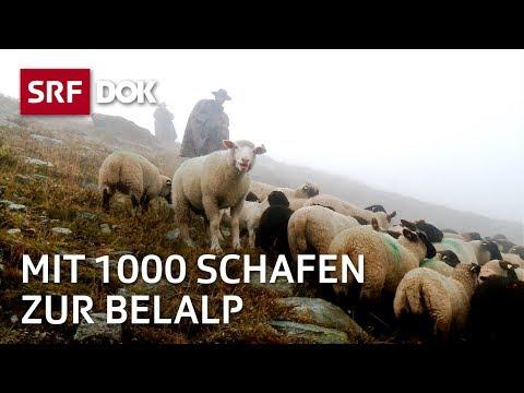 DOK - Kopf und Kragen für tausend Schafe