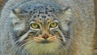 Карточки Домана. Животные. Манул, хаус, барханная кошка, домашняя кошка