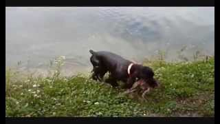 Field Spaniel Hunting Bogey