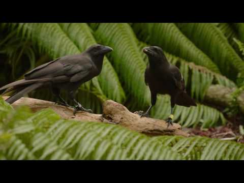 Critically Endangered 'Alalā Is a Highly Skilled Tool User