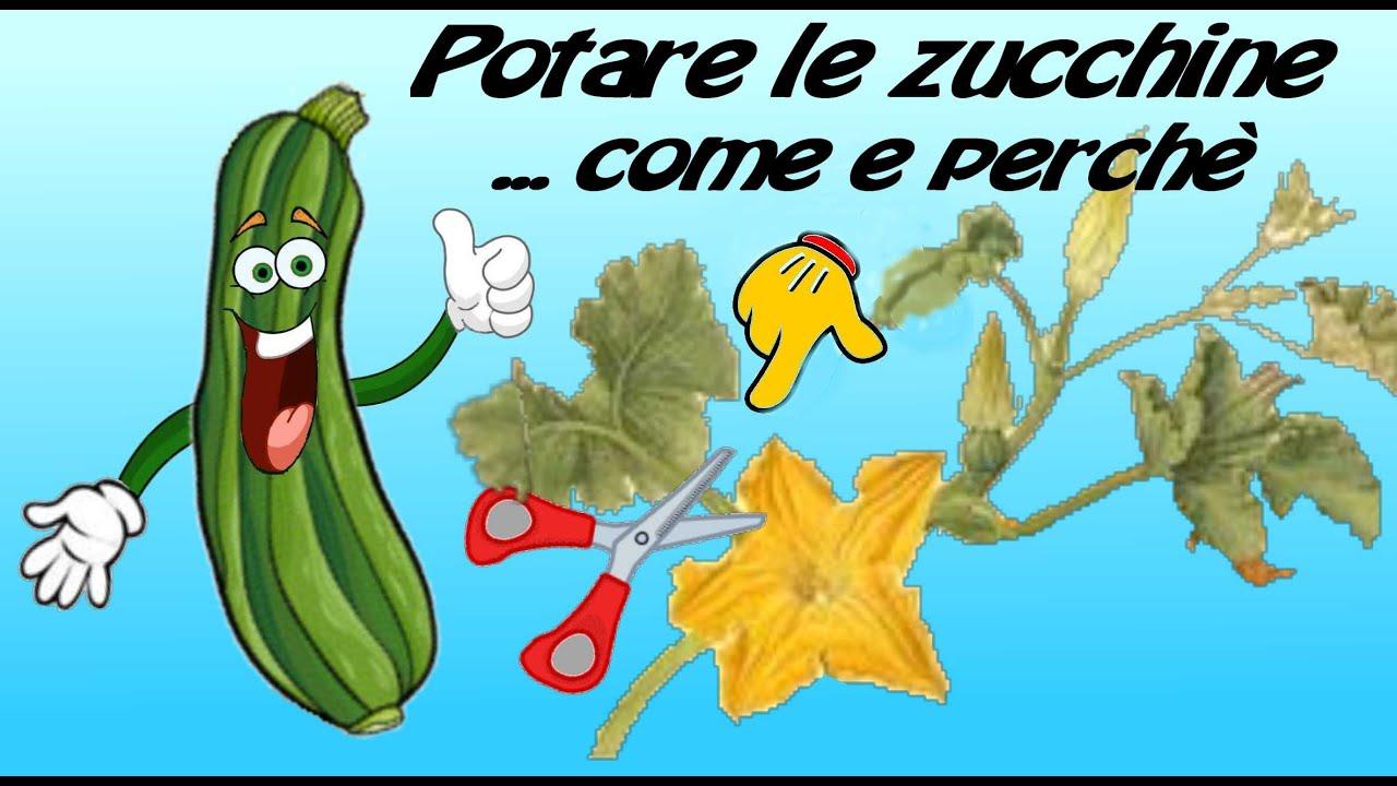 Varietà Zucchine Da Fiore potare le piante delle zucchine