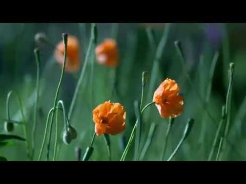rumput bergoyang