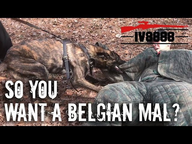 So You Want a Belgian Malinois? With Miami Canine Training