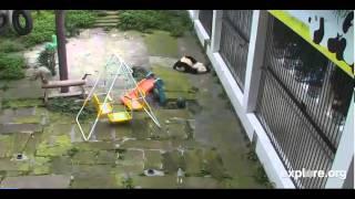 Panda Toddlers