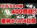 コリドラスの卵が大量に!!~8日間の経過観察~ の動画、YouTube動画。