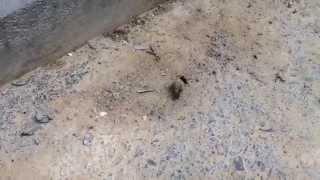 フンコロガシ dung beetle