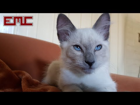 'Pika Blu' - New Cat Breed in the 'Nebelung' Family & Original Music