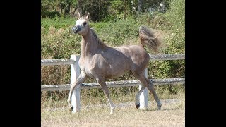 Passion for Arabian horse, passion du pur sang arabe...