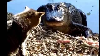 Repeat youtube video Смешные видео про кошек! Кошка играет в напёрстки! Кот против крокодила! Забавные Животные