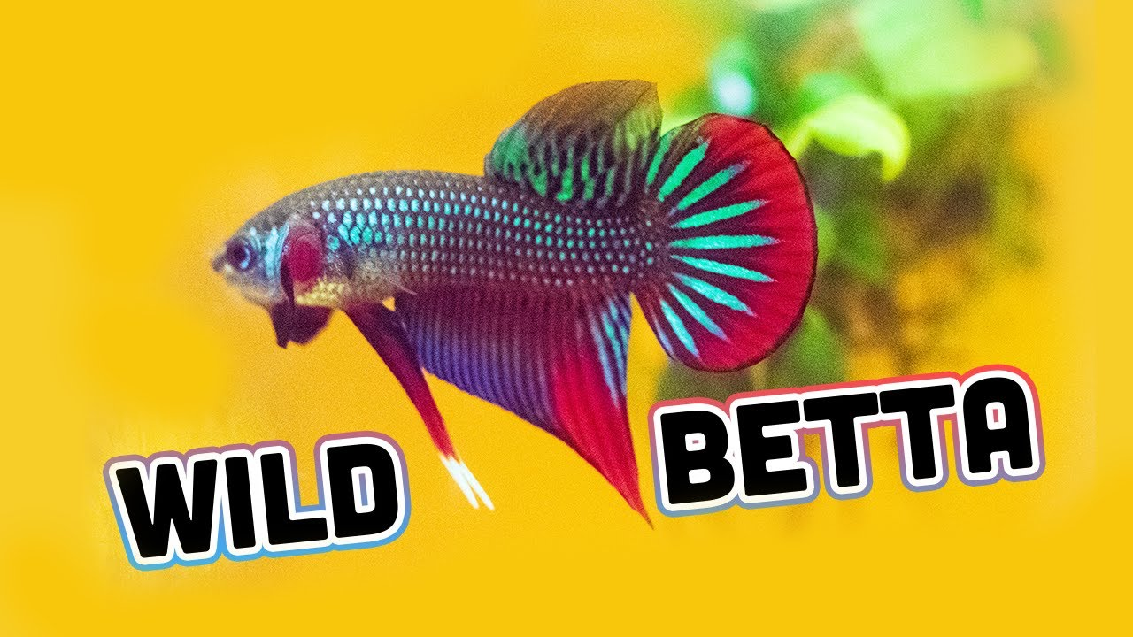 *NEW WILD BETTA* show line Betta Imbellis [Unboxing] from Franks Bettas