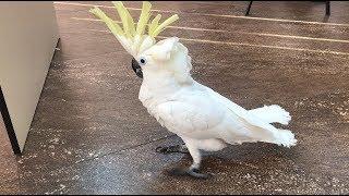 Попугай Какаду Кирюня разговаривает