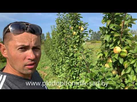 Яблоня КОЛОННОВИДНАЯ сорт ПРЕЗИДЕНТ. Летняя яблоня с колонновидной кроной, похожая на Папировку.
