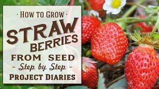 ★ How to: Grow Strawberries from Seed (A Complete Step by Step Guide)